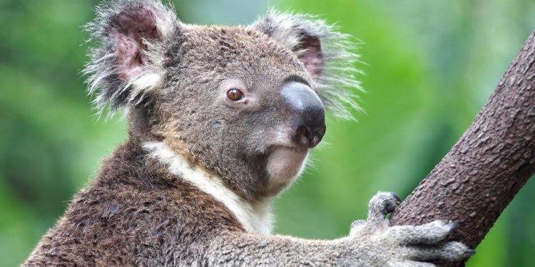 Koalas are marsupials, related