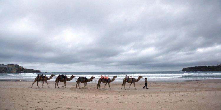 Camels are led along Bondi